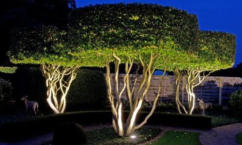 uitlichten van solitaire Parrotia persica vormbomen